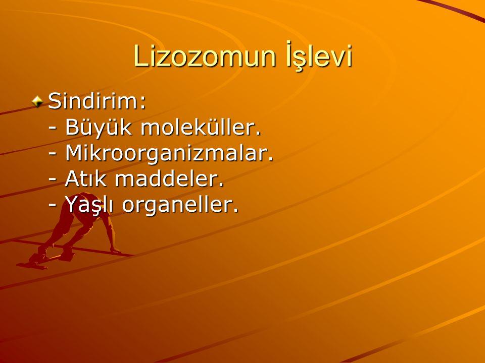 Lizozomun İşlevi Sindirim: - Büyük moleküller. - Mikroorganizmalar.