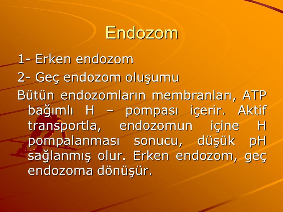 Endozom 1- Erken endozom 2- Geç endozom oluşumu