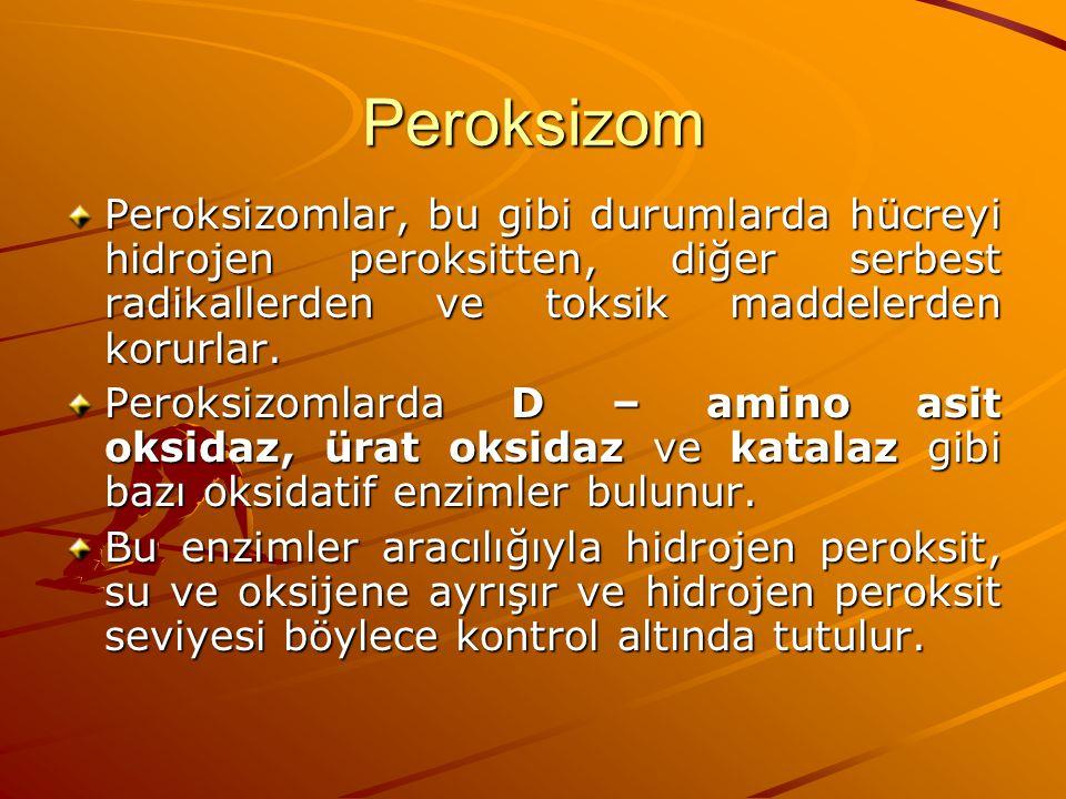 Peroksizom Peroksizomlar, bu gibi durumlarda hücreyi hidrojen peroksitten, diğer serbest radikallerden ve toksik maddelerden korurlar.