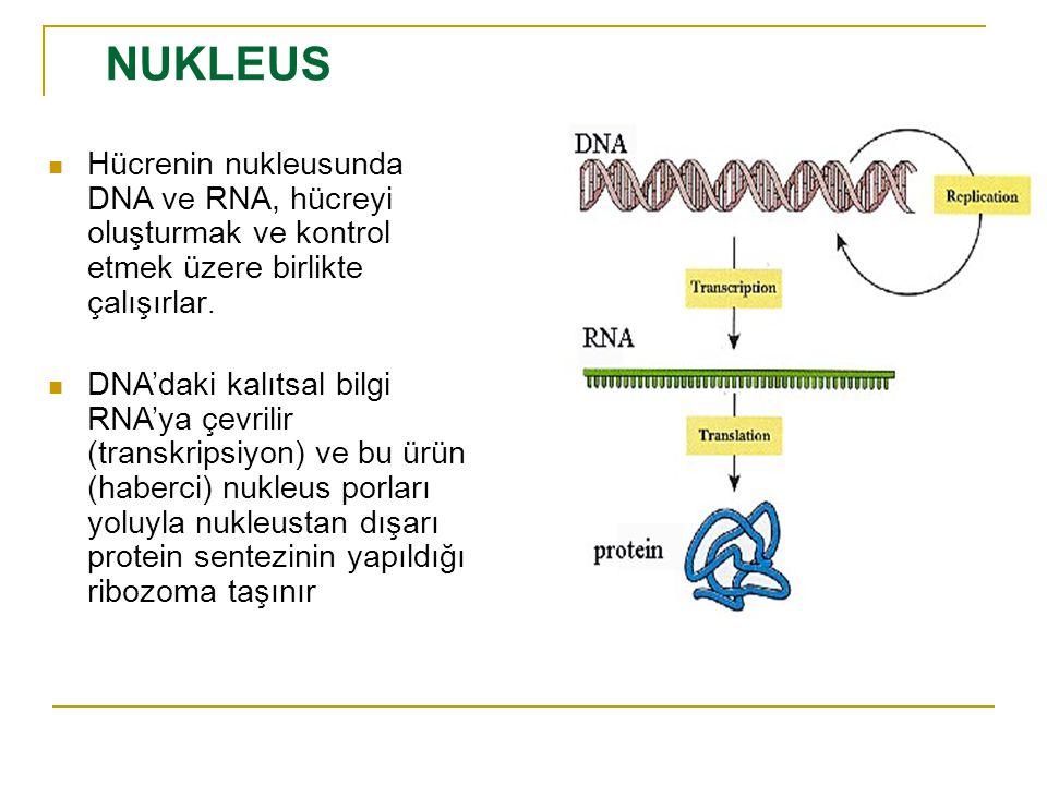 NUKLEUS Hücrenin nukleusunda DNA ve RNA, hücreyi oluşturmak ve kontrol etmek üzere birlikte çalışırlar.