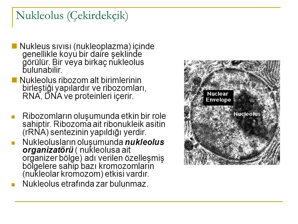 Nukleolus (Çekirdekçik)