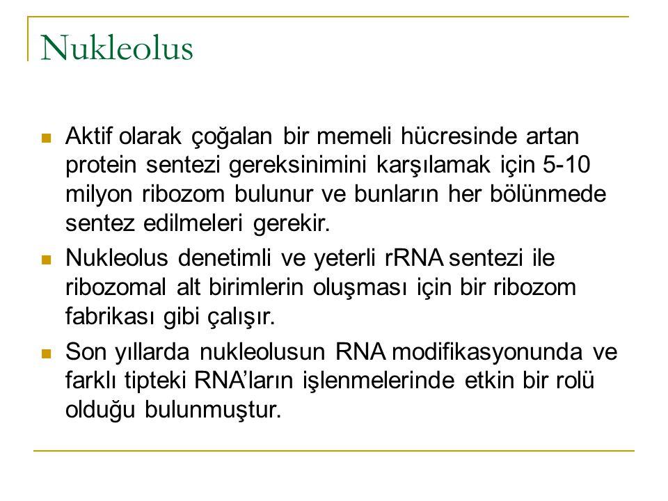 Nukleolus