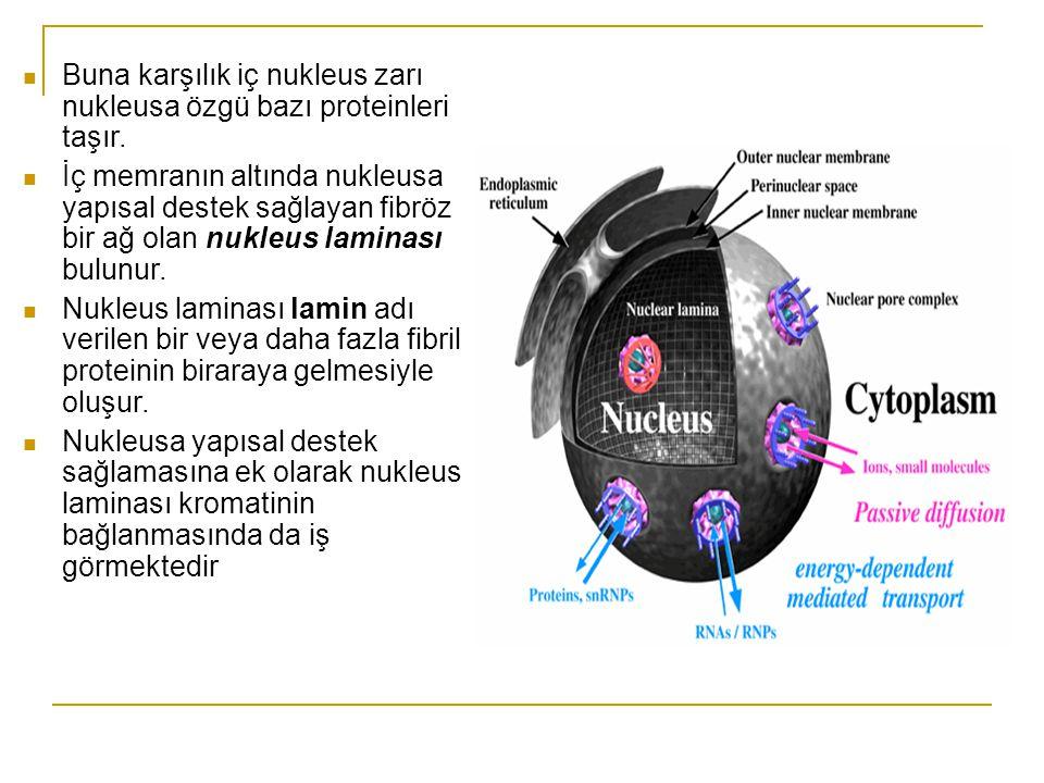 Buna karşılık iç nukleus zarı nukleusa özgü bazı proteinleri taşır.