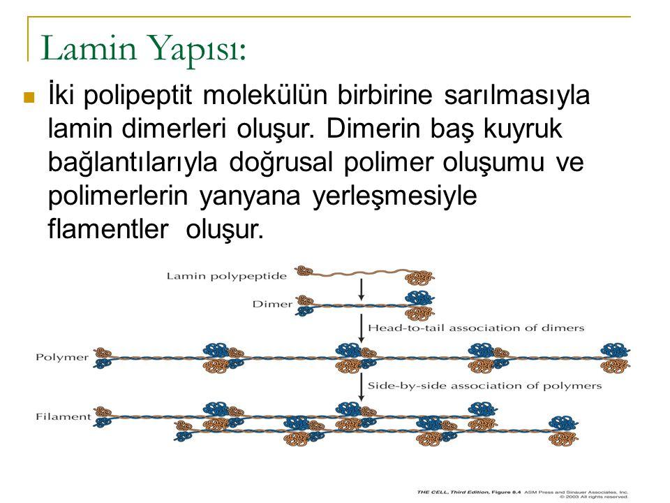 Lamin Yapısı: