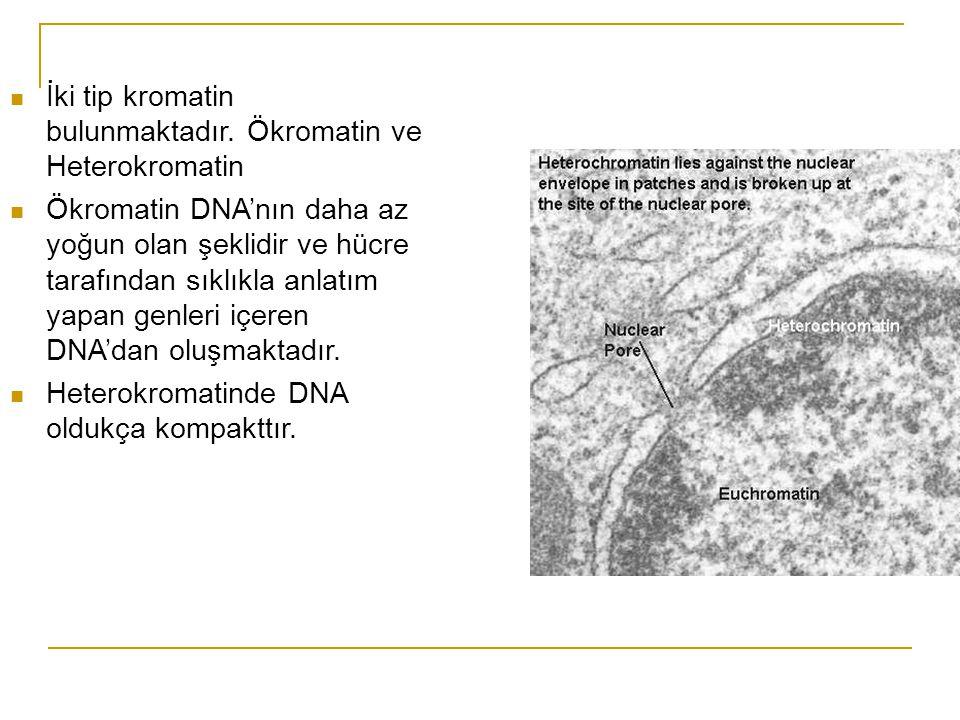 İki tip kromatin bulunmaktadır. Ökromatin ve Heterokromatin