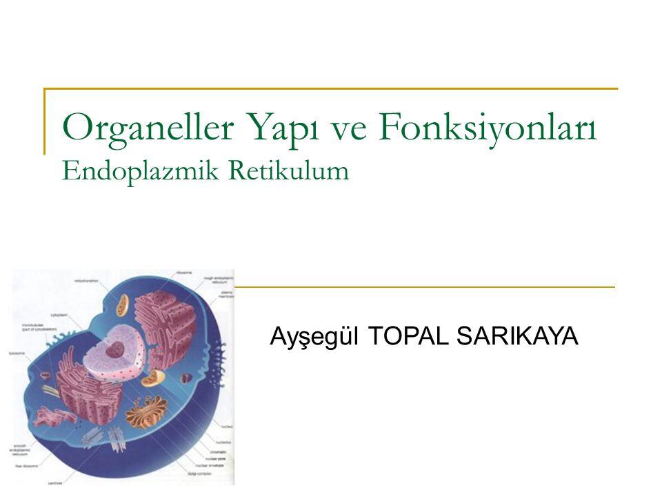 Organeller Yapı ve Fonksiyonları Endoplazmik Retikulum