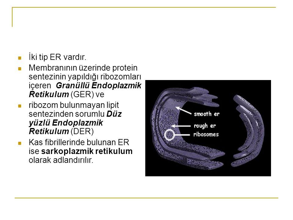 İki tip ER vardır. Membranının üzerinde protein sentezinin yapıldığı ribozomları içeren Granüllü Endoplazmik Retikulum (GER) ve.