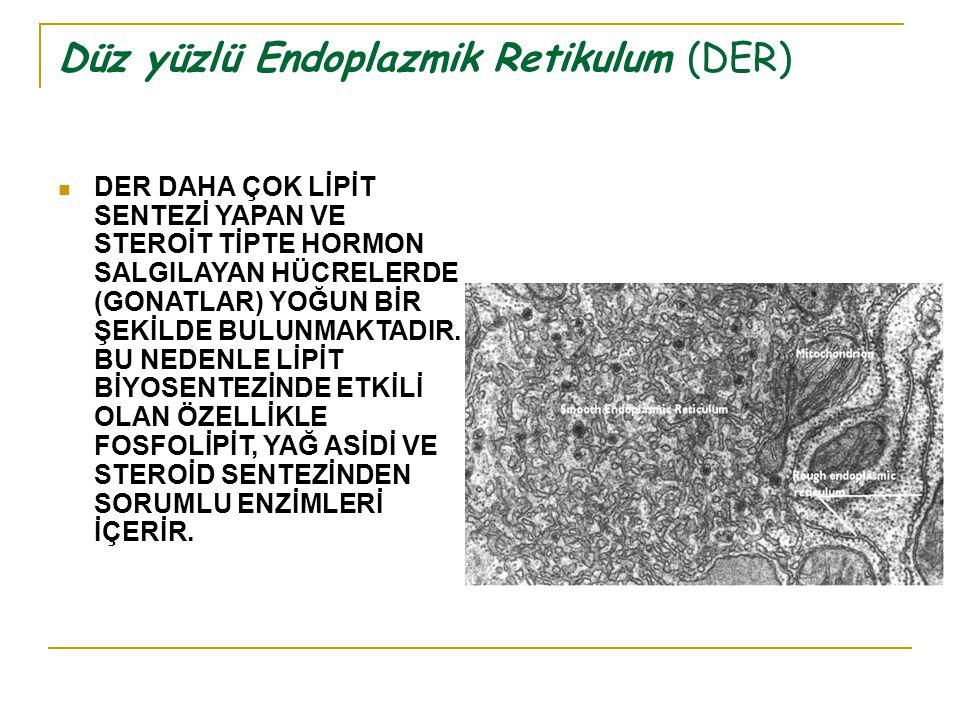 Düz yüzlü Endoplazmik Retikulum (DER)