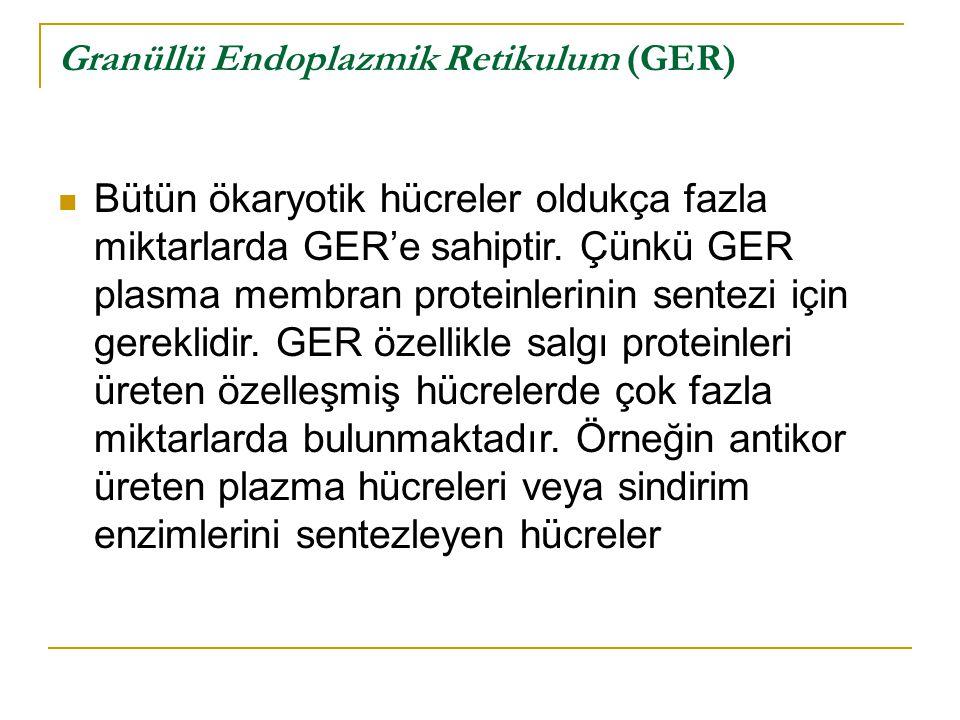 Granüllü Endoplazmik Retikulum (GER)