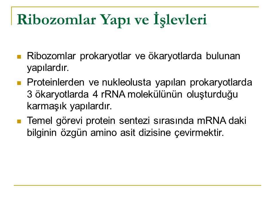 Ribozomlar Yapı ve İşlevleri