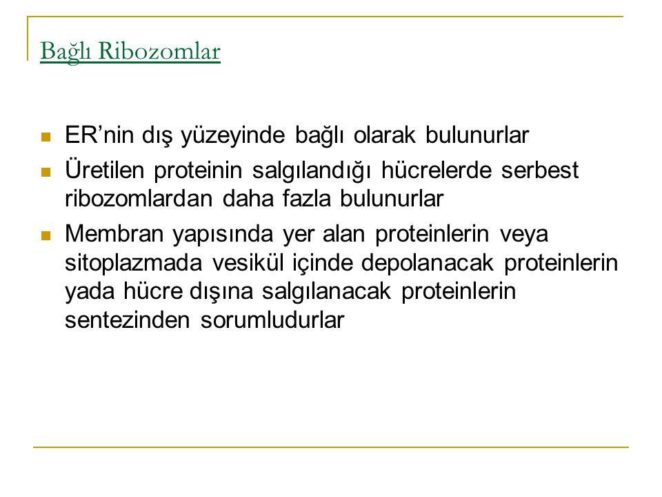 Bağlı Ribozomlar ER'nin dış yüzeyinde bağlı olarak bulunurlar
