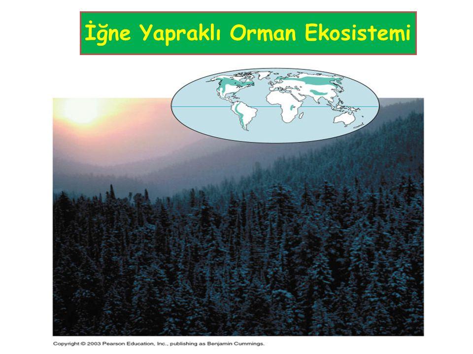 İğne Yapraklı Orman Ekosistemi