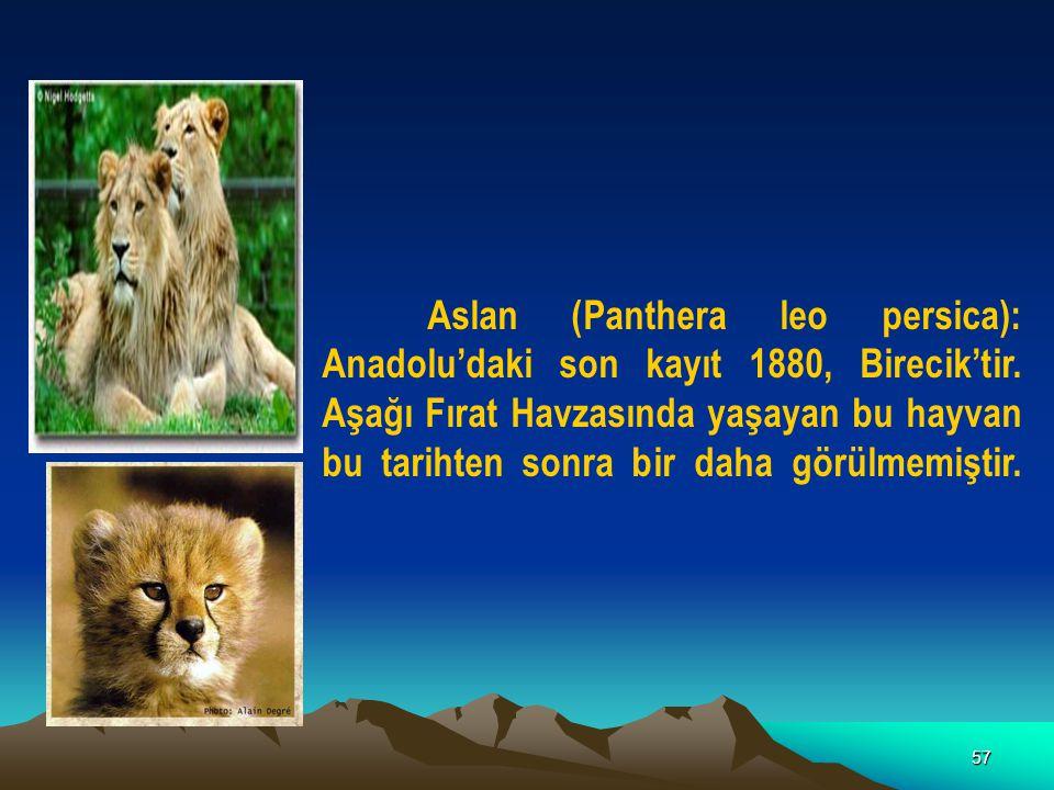 Aslan (Panthera leo persica): Anadolu'daki son kayıt 1880, Birecik'tir