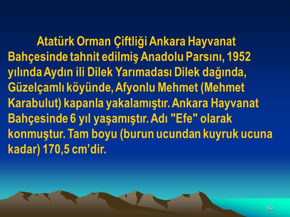 Atatürk Orman Çiftliği Ankara Hayvanat Bahçesinde tahnit edilmiş Anadolu Parsını, 1952 yılında Aydın ili Dilek Yarımadası Dilek dağında, Güzelçamlı köyünde, Afyonlu Mehmet (Mehmet Karabulut) kapanla yakalamıştır.