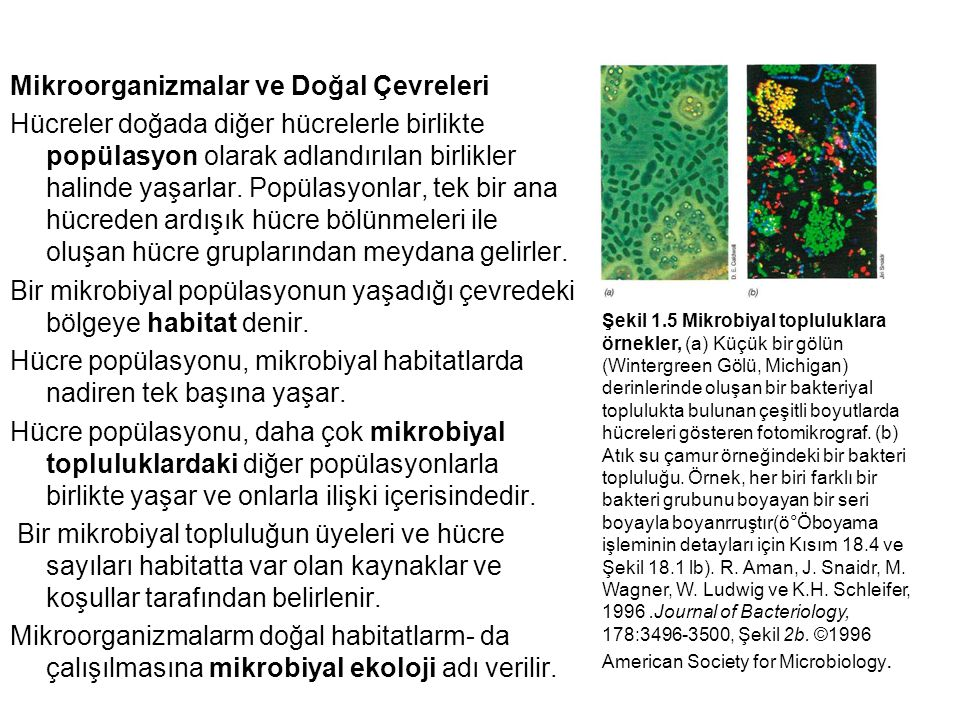 Mikroorganizmalar ve Doğal Çevreleri Hücreler doğada diğer hücrelerle birlikte popülasyon olarak adlandırılan birlikler halinde yaşarlar. Popülasyonlar, tek bir ana hücreden ardışık hücre bölünmeleri ile oluşan hücre gruplarından meydana gelirler. Bir mikrobiyal popülasyonun yaşadığı çevredeki bölgeye habitat denir. Hücre popülasyonu, mikrobiyal habitatlarda nadiren tek başına yaşar. Hücre popülasyonu, daha çok mikrobiyal topluluklardaki diğer popülasyonlarla birlikte yaşar ve onlarla ilişki içerisindedir. Bir mikrobiyal topluluğun üyeleri ve hücre sayıları habitatta var olan kaynaklar ve koşullar tarafından belirlenir. Mikroorganizmalarm doğal habitatlarm- da çalışılmasına mikrobiyal ekoloji adı verilir.