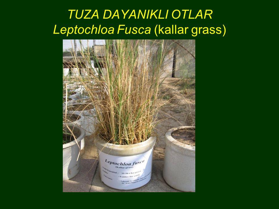 TUZA DAYANIKLI OTLAR Leptochloa Fusca (kallar grass)