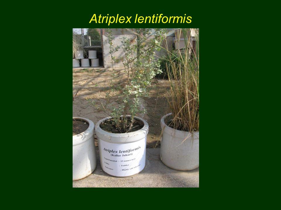 Atriplex lentiformis