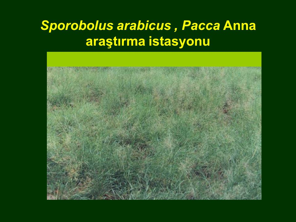 Sporobolus arabicus , Pacca Anna araştırma istasyonu