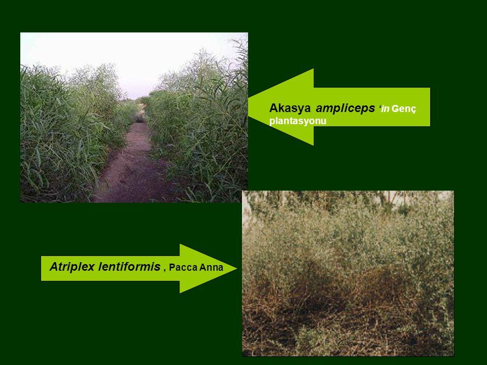 Akasya ampliceps 'in Genç plantasyonu
