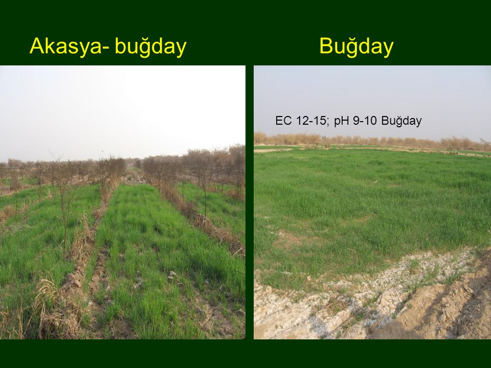 Akasya- buğday Buğday EC 12-15; pH 9-10 Buğday Akasya-buğday