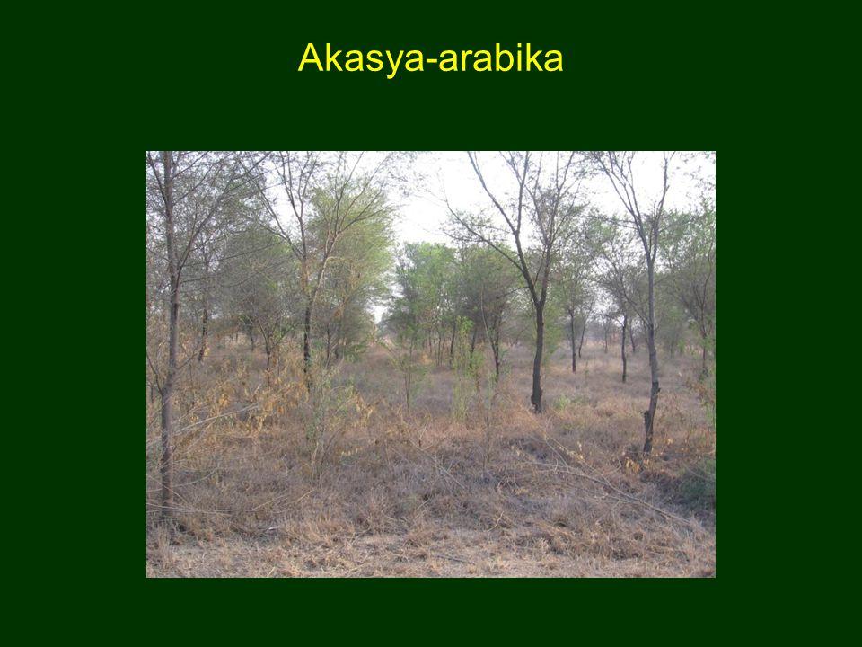 Akasya-arabika
