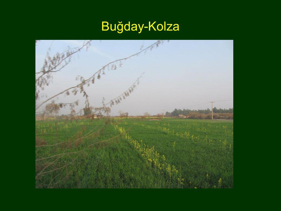 Buğday-Kolza