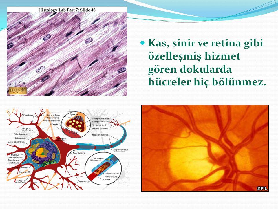 Kas, sinir ve retina gibi özelleşmiş hizmet gören dokularda hücreler hiç bölünmez.
