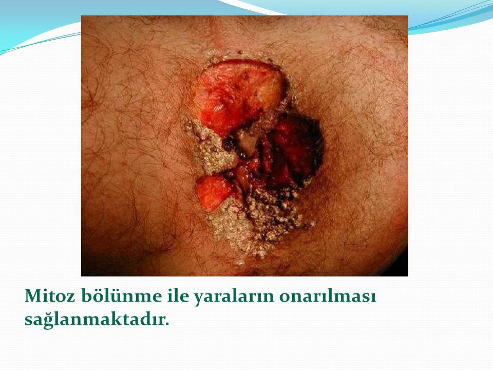 Mitoz bölünme ile yaraların onarılması sağlanmaktadır.