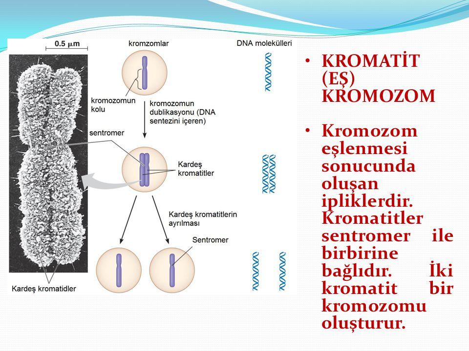 KROMATİT (EŞ) KROMOZOM