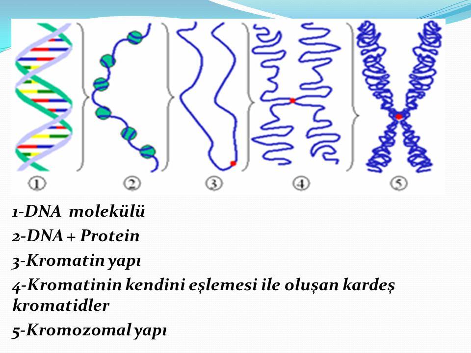1-DNA molekülü 2-DNA + Protein. 3-Kromatin yapı. 4-Kromatinin kendini eşlemesi ile oluşan kardeş kromatidler.