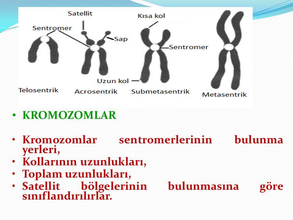 KROMOZOMLAR Kromozomlar sentromerlerinin bulunma yerleri, Kollarının uzunlukları, Toplam uzunlukları,