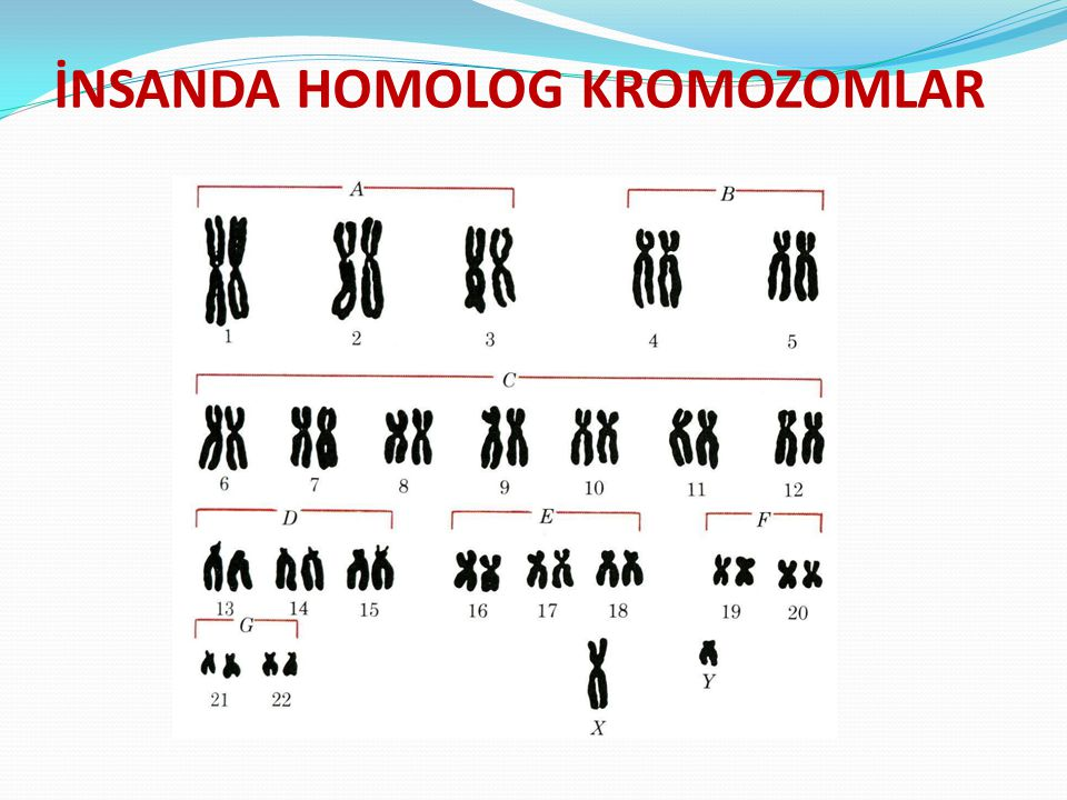 İNSANDA HOMOLOG KROMOZOMLAR