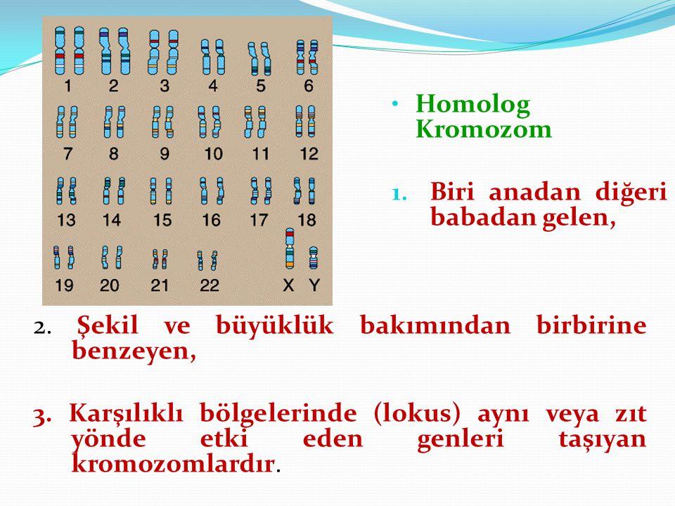 Homolog Kromozom Biri anadan diğeri babadan gelen, 2. Şekil ve büyüklük bakımından birbirine benzeyen,
