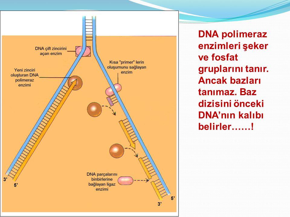 DNA polimeraz enzimleri şeker ve fosfat gruplarını tanır