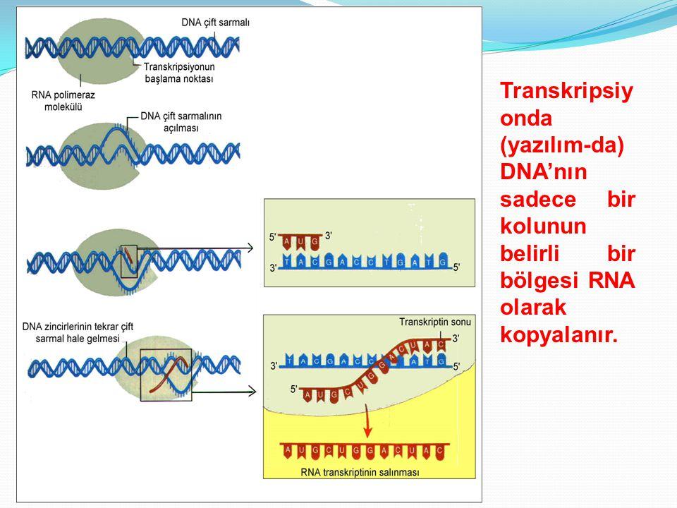 Transkripsiyonda (yazılım-da) DNA'nın sadece bir kolunun belirli bir bölgesi RNA olarak kopyalanır.