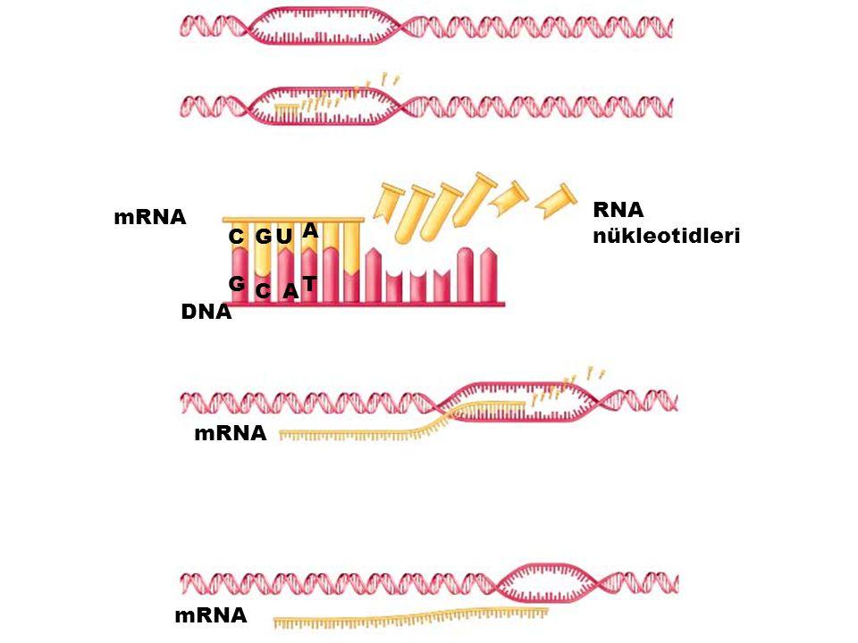 RNA nükleotidleri mRNA A C G U G T C A DNA mRNA mRNA
