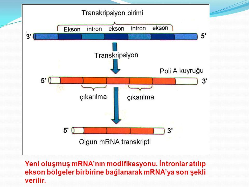 Yeni oluşmuş mRNA'nın modifikasyonu