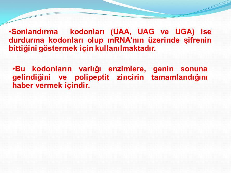 Sonlandırma kodonları (UAA, UAG ve UGA) ise durdurma kodonları olup mRNA'nın üzerinde şifrenin bittiğini göstermek için kullanılmaktadır.