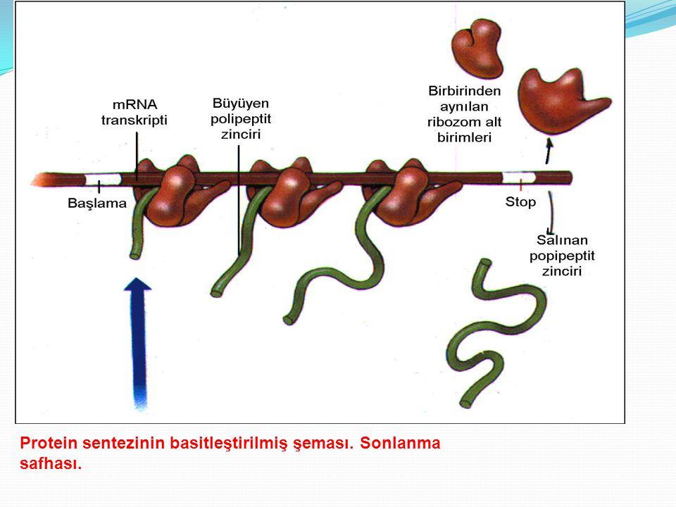 Protein sentezinin basitleştirilmiş şeması. Sonlanma safhası.