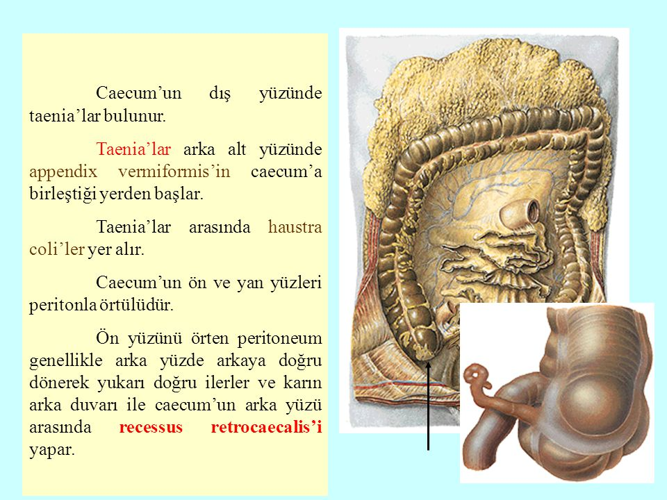 Caecum'un dış yüzünde taenia'lar bulunur.