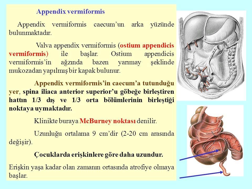 Appendix vermiformis Appendix vermiformis caecum'un arka yüzünde bulunmaktadır.