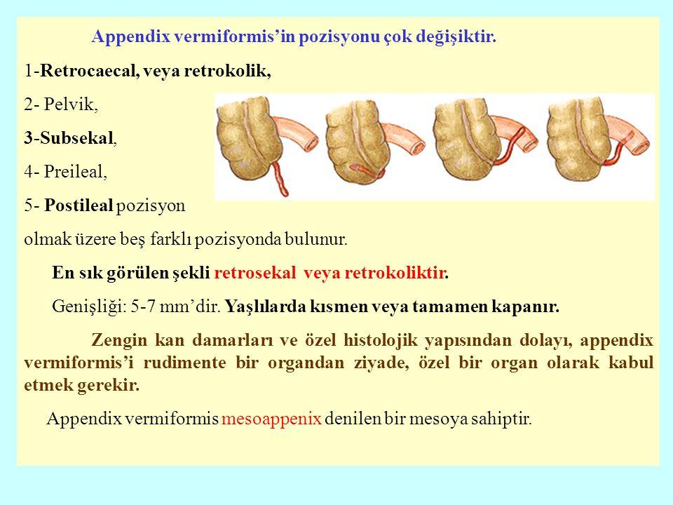 Appendix vermiformis'in pozisyonu çok değişiktir.