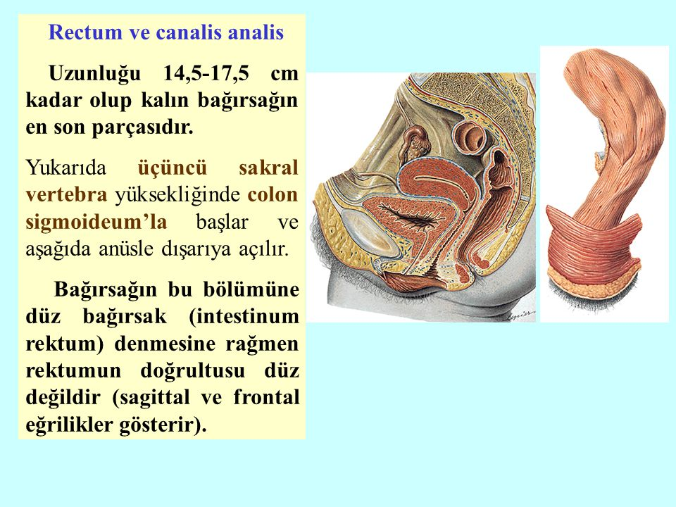 Rectum ve canalis analis