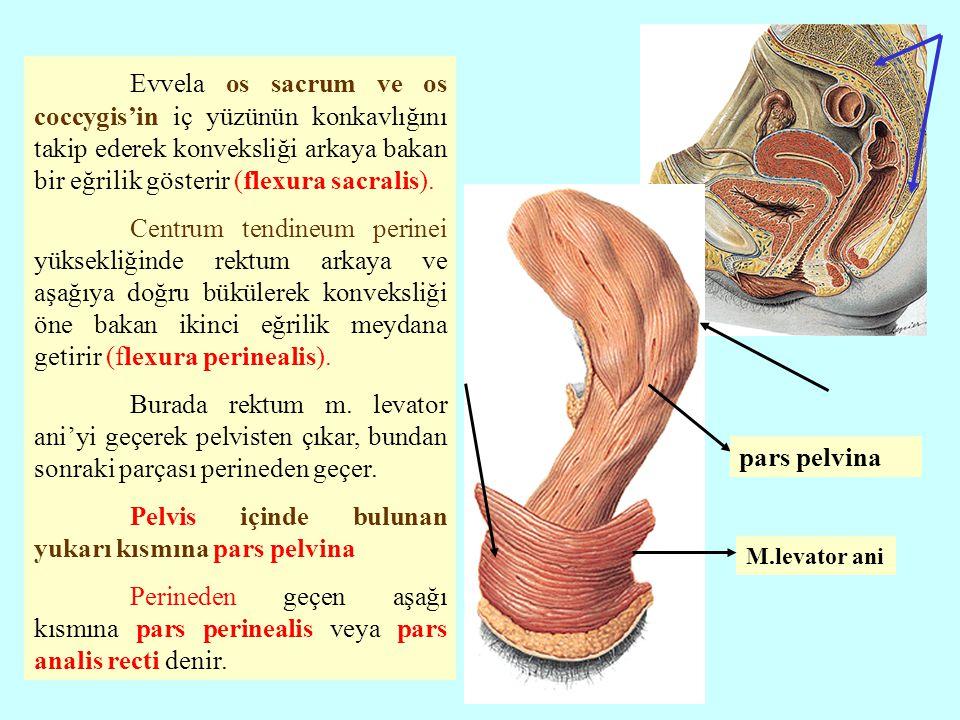 Evvela os sacrum ve os coccygis'in iç yüzünün konkavlığını takip ederek konveksliği arkaya bakan bir eğrilik gösterir (flexura sacralis).