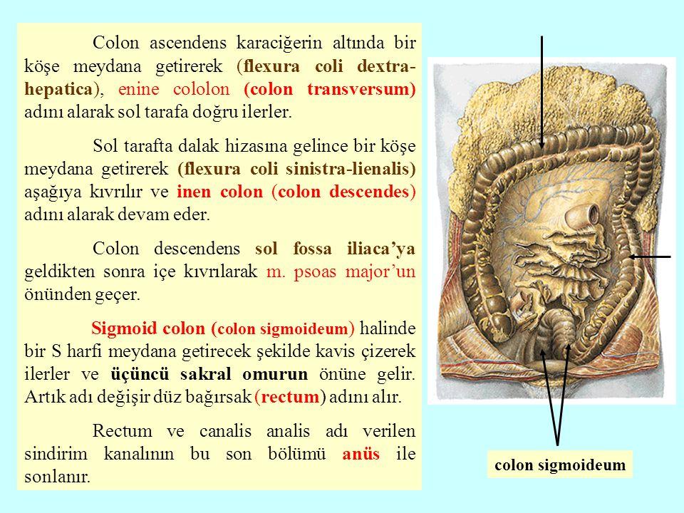 Colon ascendens karaciğerin altında bir köşe meydana getirerek (flexura coli dextra- hepatica), enine cololon (colon transversum) adını alarak sol tarafa doğru ilerler.