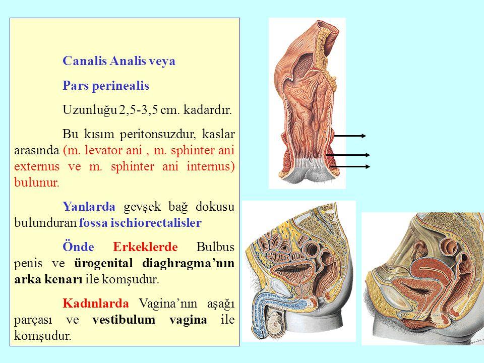 Canalis Analis veya Pars perinealis Uzunluğu 2,5-3,5 cm. kadardır.