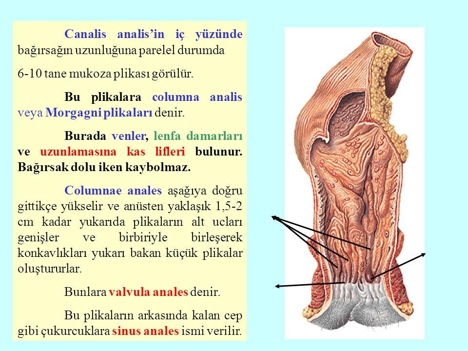 Canalis analis'in iç yüzünde bağırsağın uzunluğuna parelel durumda