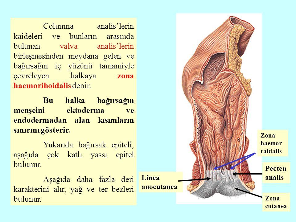 Columna analis'lerin kaideleri ve bunların arasında bulunan valva analis'lerin birleşmesinden meydana gelen ve bağırsağın iç yüzünü tamamiyle çevreleyen halkaya zona haemorihoidalis denir.