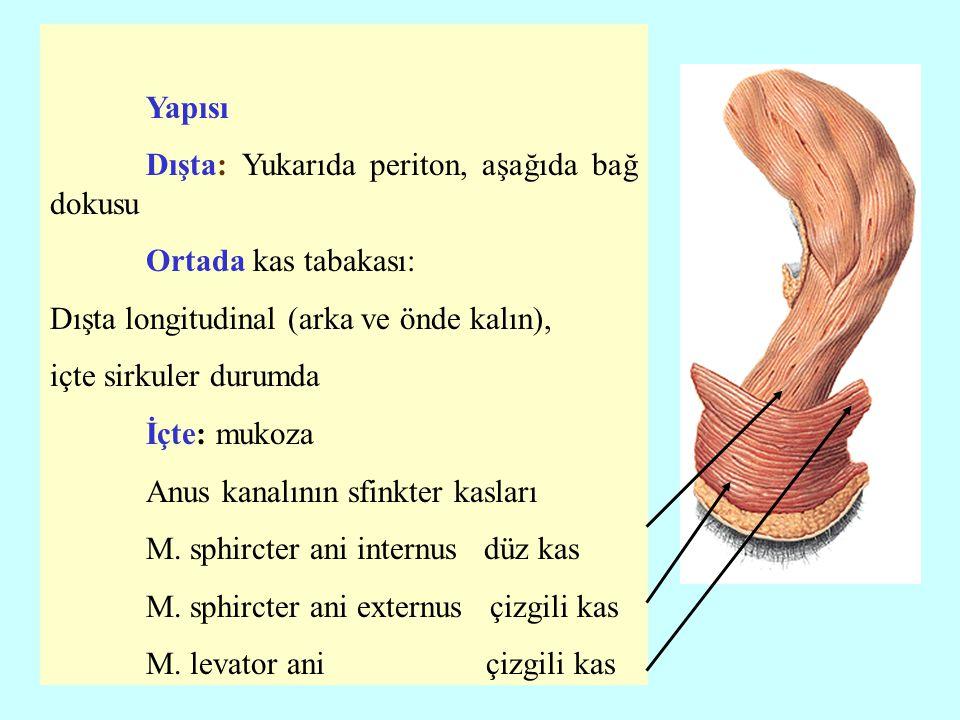 Yapısı. Dışta: Yukarıda periton, aşağıda bağ dokusu. Ortada kas tabakası: Dışta longitudinal (arka ve önde kalın),