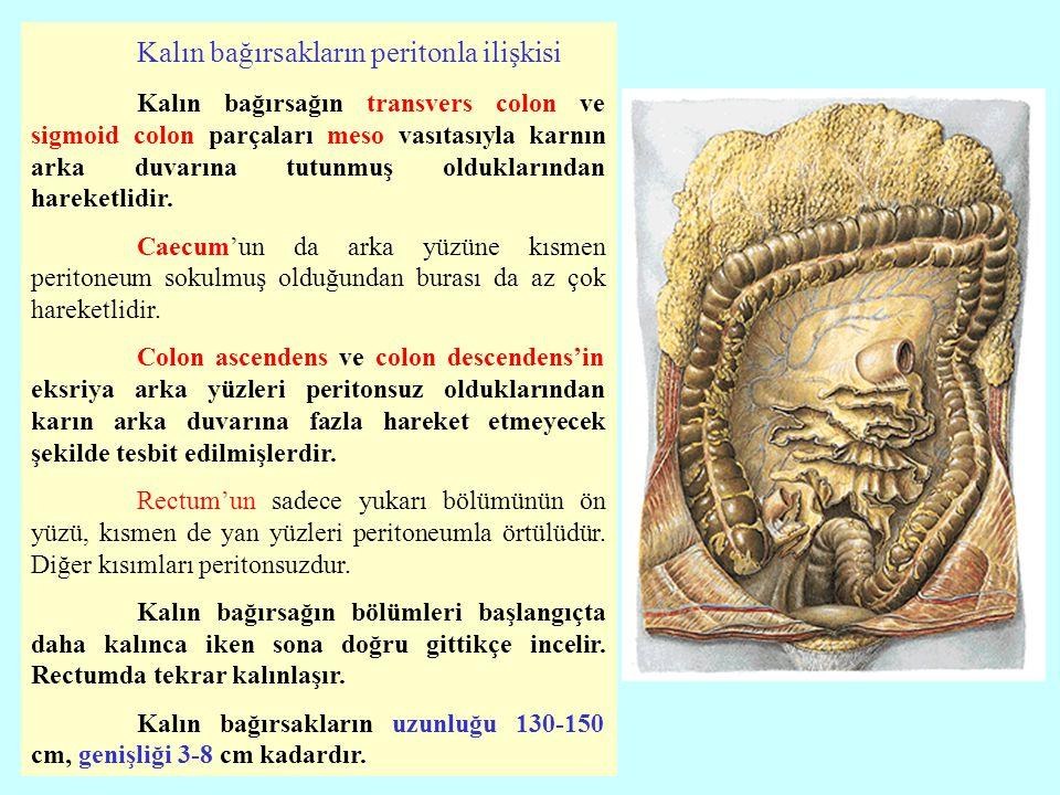 Kalın bağırsakların peritonla ilişkisi